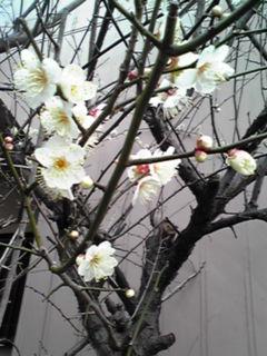 うめ(梅)の花