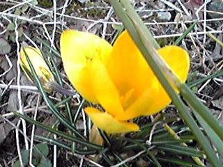 黄色いクロッカス(花サフラン)がひっそり咲いていました。