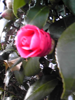 直さん(高橋直純)コメント出演のお知らせをこのツバキ(椿)の花と共に♪