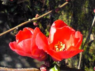 真っ赤なボケ(木瓜)も咲き始めています。&直さん(高橋直純)の新しいお知らせも!