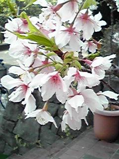 神奈川県立フラワーセンター大船植物園に行って来ました!早咲きの玉縄桜(タマナワザクラ)咲いていました