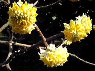 大きなミツマタ(三又)の花です!