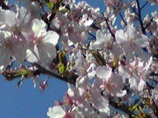 満開の河津桜と共に2016年3月の直さん(高橋直純)参りましょう!(マジボファイナル間近の直祭り〜♪)