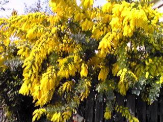 銀葉アカシア(ギンヨウアカシア、ミモザ)が満開に成っていてとても鮮やか♪