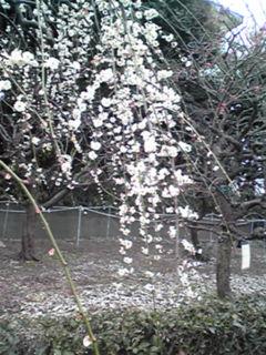 フラワーセンターの枝垂れ梅をちょっとだけ