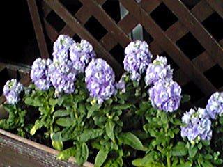 ストック(アラセイトウ)の花