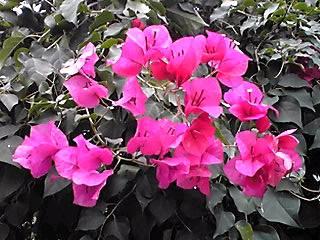 今夜も大船のフラワーセンターの温室で咲く花たち②