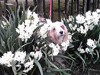 次々に色々な種類が咲くスイセン(水仙)が風に揺られて♪