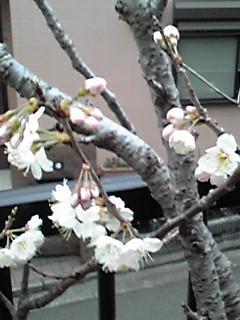いつの間にか咲いていました!我が家の鉢植えサクランボの花♪