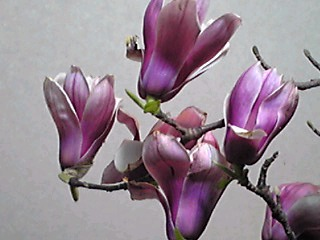 サラサモクレン(更紗木蓮、ニシキモクレン)シモクレンとハクモクレンとの交配種だそうです。