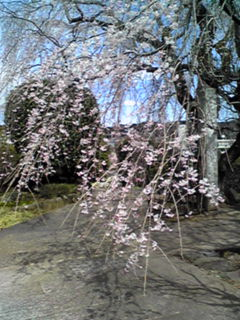 今日の直さん(高橋直純)は「ネオロマンスフェスタ遥か祭2016」に出演です♪咲きはじめたこの枝垂れ桜