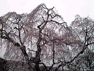 枝垂れ桜は満開なのでしが…