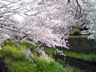 いつもの散歩道の見事なソメイヨシノ(染井吉野)がやっと満開を迎えました!
