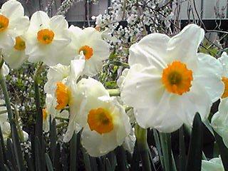 遅咲きのスイセン(水仙)が今年も見事な咲き姿で香っています♪