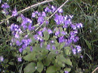 直さん(高橋直純)関連のお知らせです!お花はムラサキハナナ(紫花菜、オオアラセイトウ)