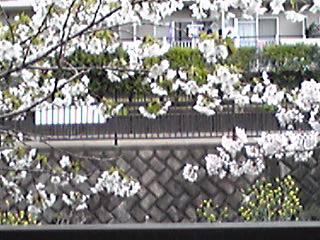大島桜(オオシマザクラ)は緑の葉と共に!