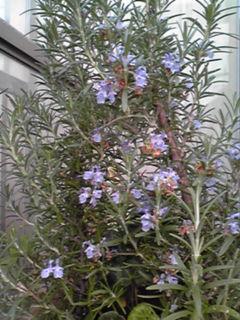 我が家の庭にも色々花が咲き始めています♪