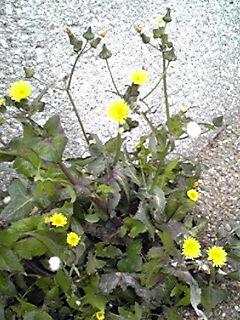 雑草と呼ばれる花…ノゲシ(野芥子・春の野芥子)