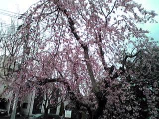 河原の枝垂れ桜(しだれざくら)は今が満開♪