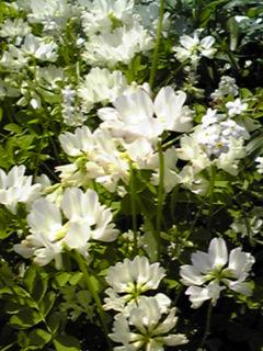 れんげ草(蓮華草、ゲンゲ)真っ白も綺麗です!
