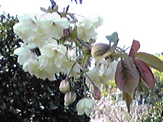 ウコン桜は黄色いサクラです!