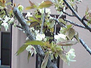 我が家の御衣黄(ギョイコウ)が咲き始めました♪