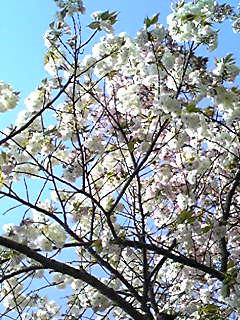 今夜も八重桜(ぼたん桜)を三種参りましょう♪