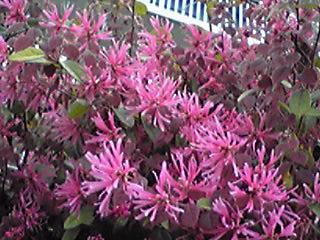 ベニバナトキワマンサク(紅花常盤万作・赤花常盤万作)ね生垣が綺麗です!