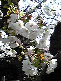 八重桜、今日も少しご紹介!