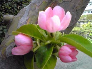 カリンの可愛い花が咲き始めました!