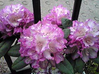 今、我が家の玄関先を飾る花たち☆