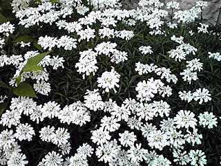 白く可愛い春の花