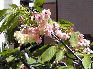 サクラ(桜)もこちらではそろそろ終演の頃(ピンクに染まった御衣黄桜)