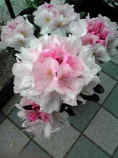 直さん(高橋直純)「ビタゴラスチャンネル」に生ゲスト出演致します!お花は我が家のもう一つのシャクナゲ