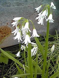 我が家のツリガネズイセン(釣鐘水仙)は花盛り!