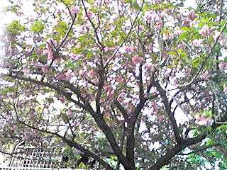 まだ木に残る八重桜も綺麗ですが、散った花たちにも赴きが…☆