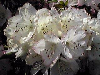 直さん(高橋直純)の新しいお知らせをシャクナゲの花と共に参りましょう!