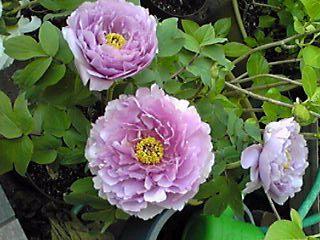 紫の牡丹「鎌田藤」も咲き始めました♪