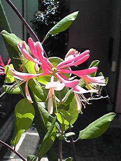 ハニーサックル(匂い忍冬・ニオイニンドウ)が咲いてきました♪