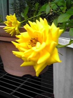 もう一つの王子のバラ(薔薇)こちらは黄色いミニバラです!