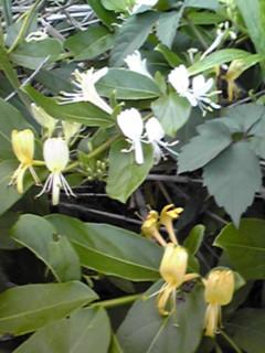 自生するスイカズラ(忍冬、金銀花)を意外な所で見つけました!