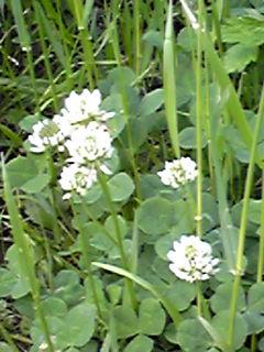 白詰め草(シロツメクサ・クローバー)と赤詰め草(アカツメクサ・ムラサキツメクサ)