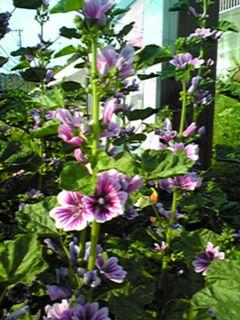 ゼニアオイ(銭葵)高く立ち上がって花をいっぱい付けています!
