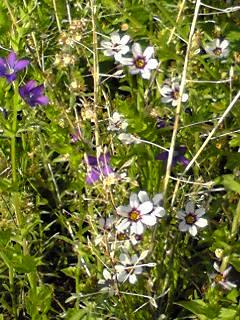ニワセキショウ(庭石菖、ニワウゼキショウ、シリンチウム)を雑草の中に見つけました!