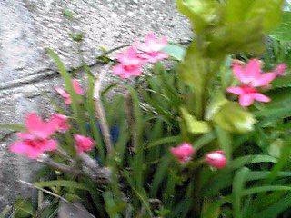 ニワセキショウ(庭石菖、ニワウゼキショウ、シシリンチウム)を雑草の中に見つけました!