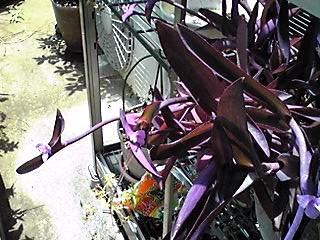 ムラサキゴテン(紫御殿、セトクレアセア、パープルハート)のハートがいっぱい♪
