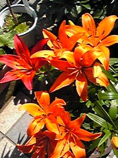 今年も頂いたユリ(百合)が小さな鉢から溢れんばかりに咲きました♪