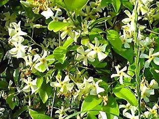 テイカカズラ(定家葛)フェンスいっぱいに咲き、良い香りも…♪