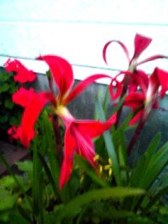 とても珍しいお花、スプレケリア・フォルモシッシマ(ツバメズイセン・燕水仙)