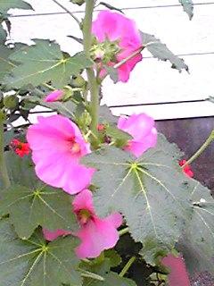 梅雨を知らせてくれる花と言われるタチアオイ(ホリホック)が咲き始めましたよ!